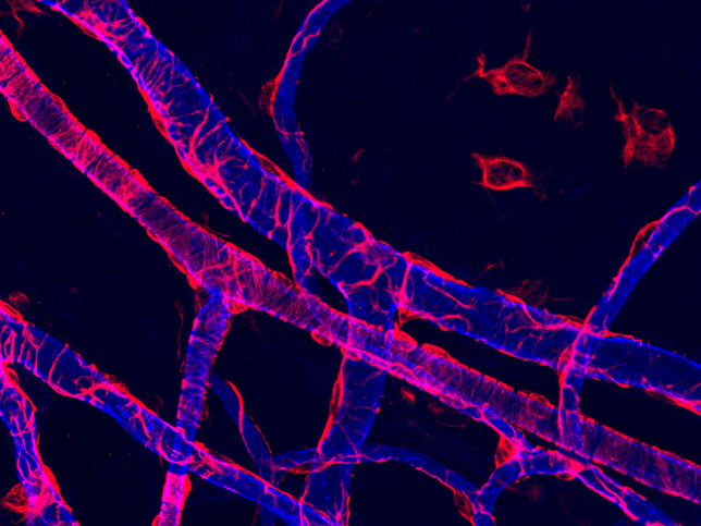 Pericytes (red) surrounding blood vessels (blue).. Photo credit: Chris Turner, Kwabena Badu-Nkansah